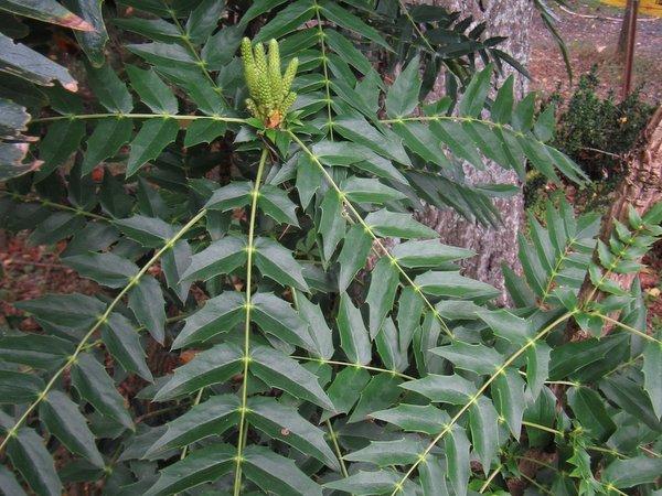Mahonia oiwakensis subsp. lomariifolia var. tenuifoliola