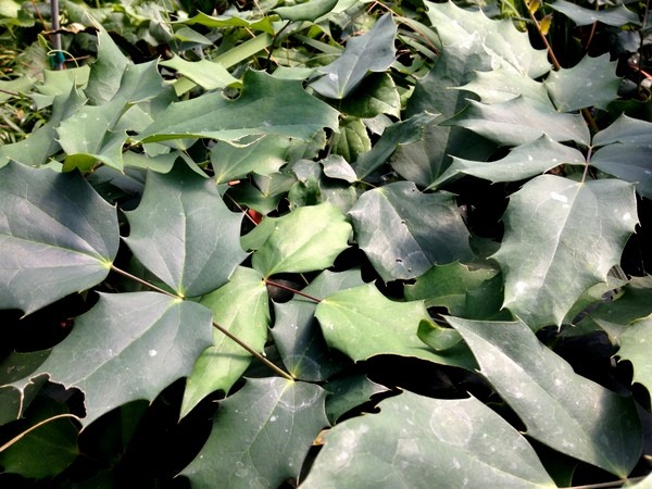 Mahonia duclouxiana x M. japonica