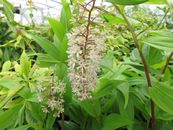 Maianthemum (Smilacina) cf. flexuosum
