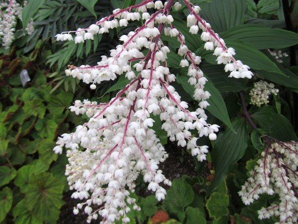 Maianthemum oleraceum - white