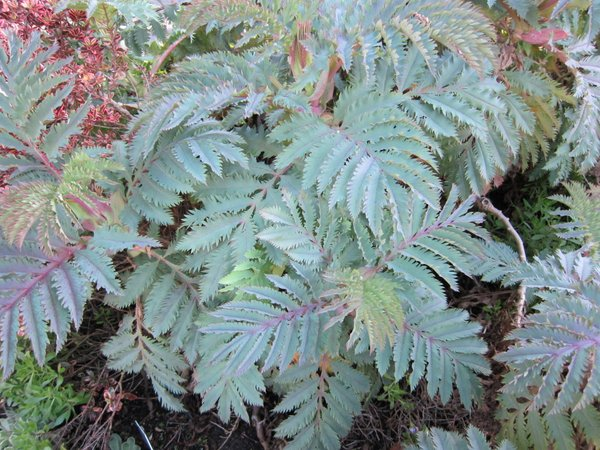 Melianthus major 'Purple Haze'