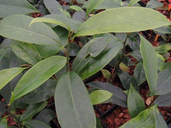 Michelia sp. CDHM 14653
