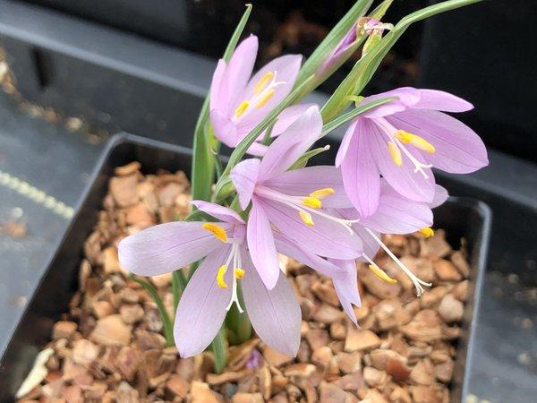 Olsynium douglasii FRF8588 - good pink