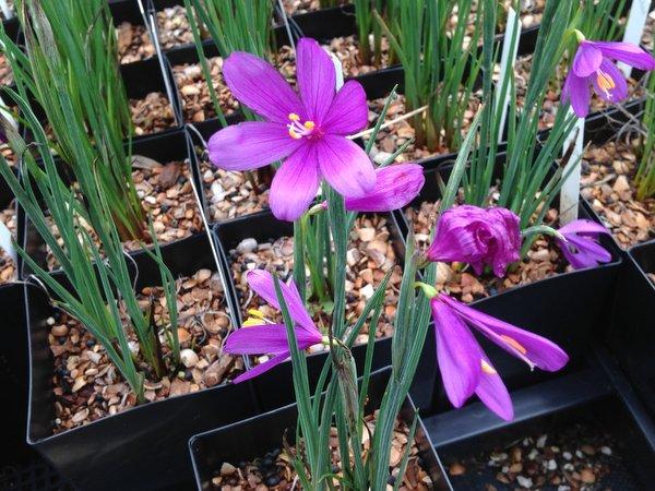 Olsynium douglasii FRF7885 - tall purple