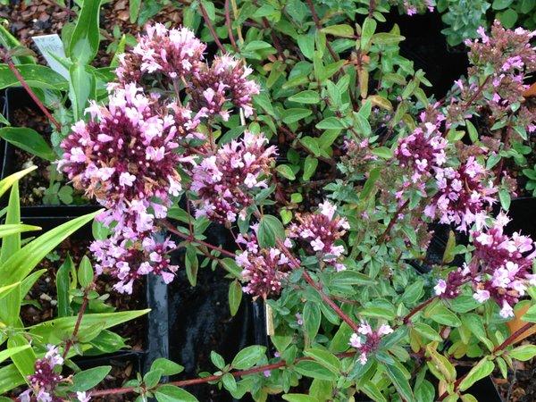 Origanum 'Hopley's Purple'