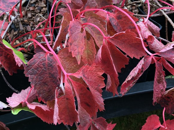 Parthenocissus semicordata HeHeHe 243