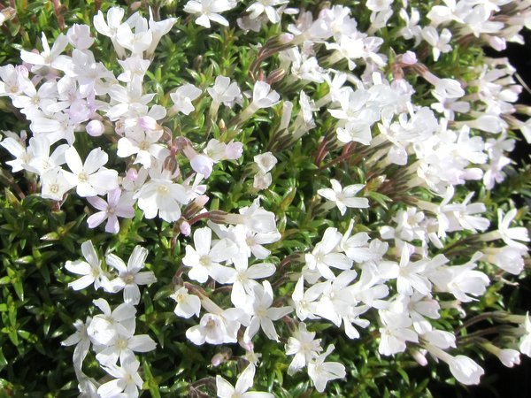 Phlox 'Sileniflora'