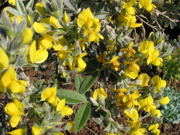 Piptanthus sp. aff. tomentosus