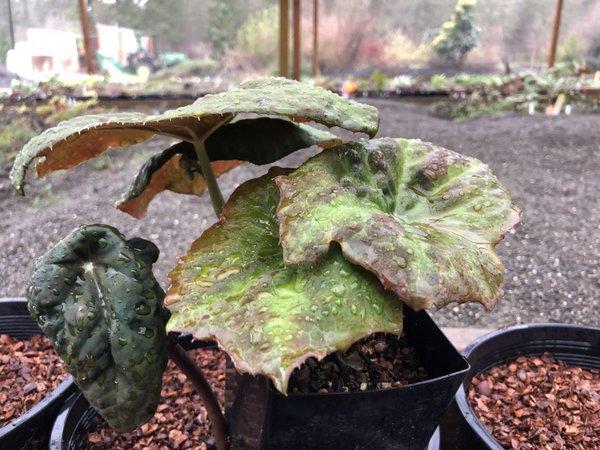 Podophyllum cf. difforme - bronze (Dysosma difformis)