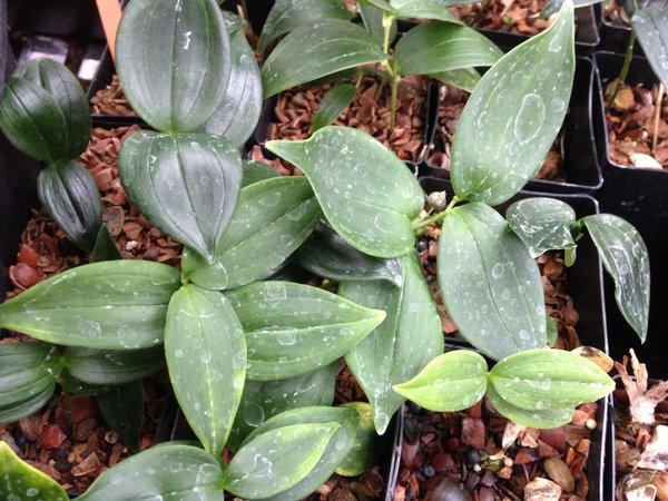 Polygonatum urceolatum
