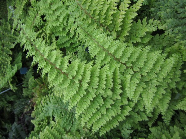 Polystichum setiferum Divisilobum Group