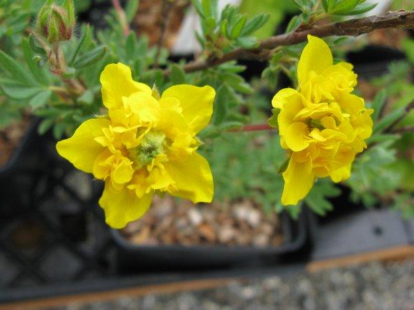 Dasiphora fruticosa 'Mt Townsend'