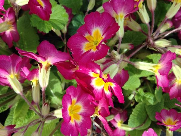 Primula 'Cherry Pinwheel'