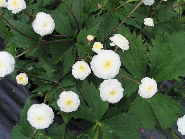 """Résultat de recherche d'images pour """"ranunculus aconitifolius flore pleno"""""""