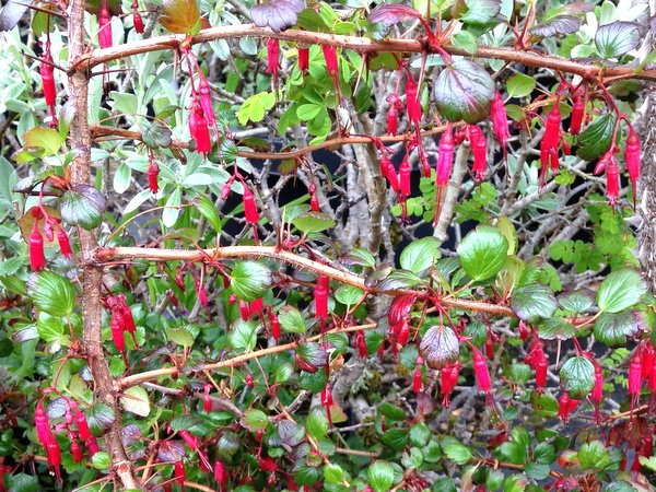 Ribes speciosum 'Pincushion'