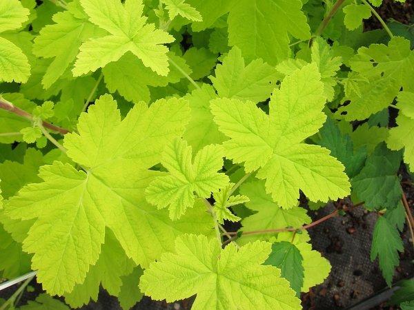 Ribes sanguineum 'Brocklebankii'