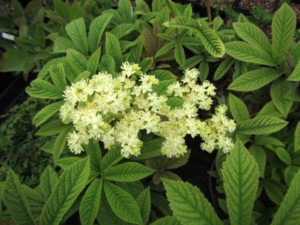 Rodgersia sp. aff sambucifolia ACE 2303