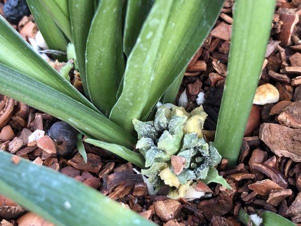 Rohdea aurantiaca MD97-099 (syn. Tupistra)
