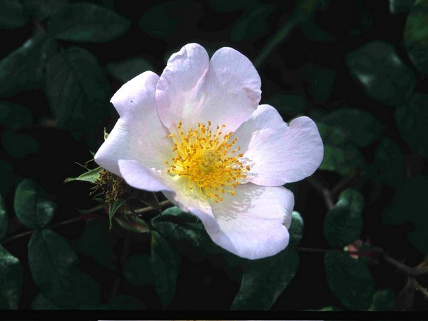 Rosa x richardii