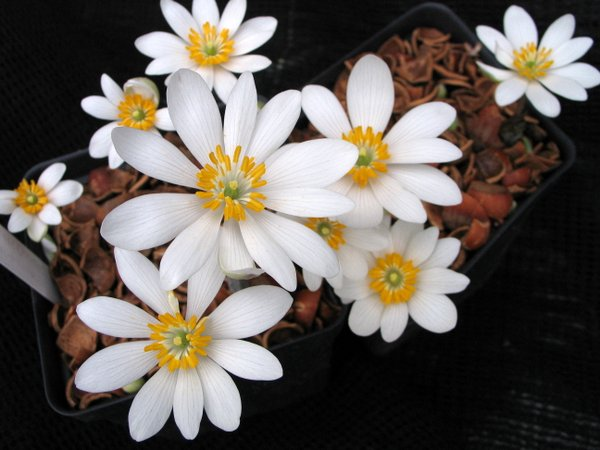 Sanguinaria canadensis 'Edith Dusek'