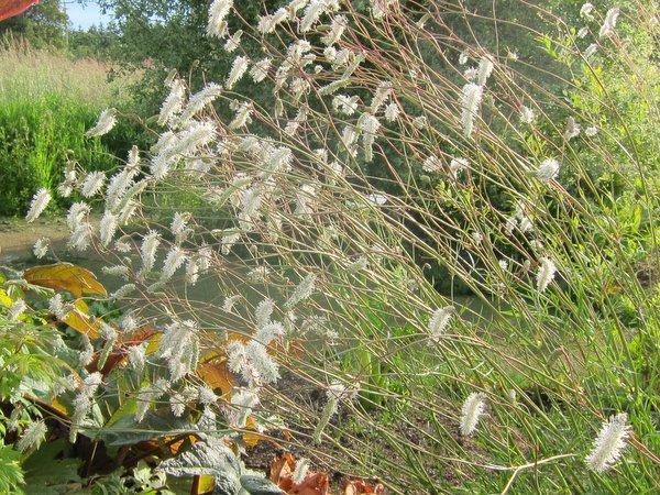 Sanguisorba tenuifolia var.alba