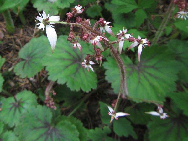 Saxifraga nipponica