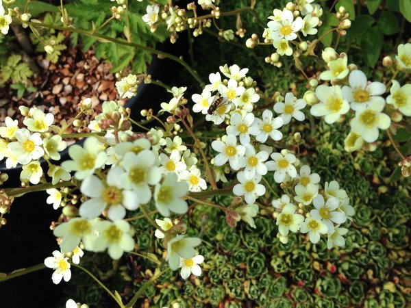 Saxifraga cochlearis 'Major'
