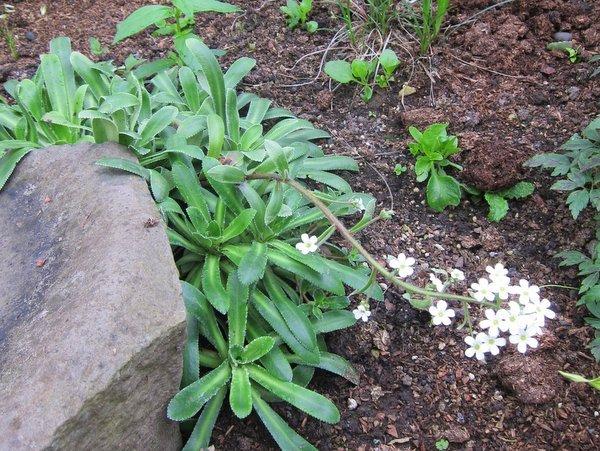 Saxifraga hybrid