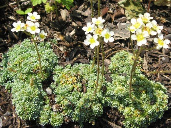 Saxifraga paniculata var. minutifolia