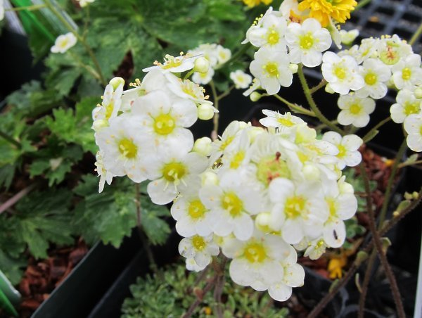Saxifraga paniculata - large flower