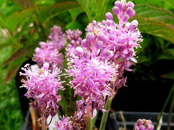 Barnardia japonica syn. Scilla scillioides