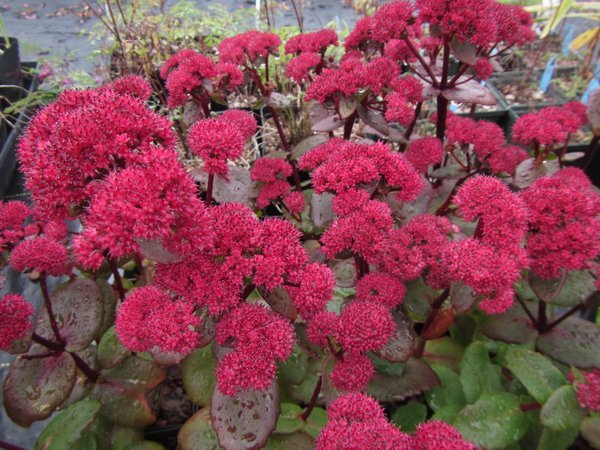 Sedum spectabile 'Marchant's Best Red'