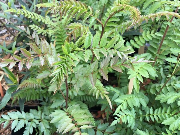Sorbus koehneana (syn. Sorbus fruticosa)