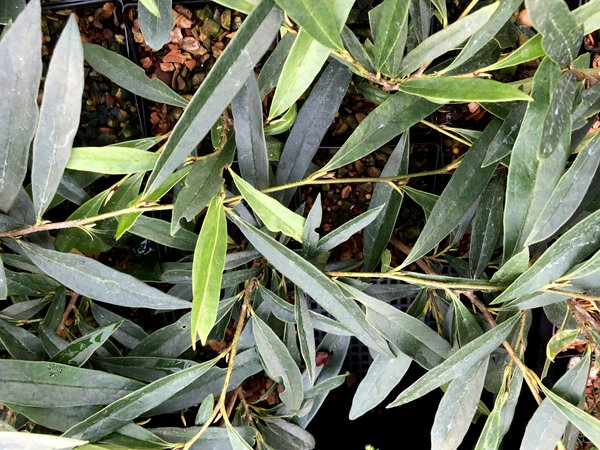 Sycopsis sinensis - narrow leaf fprm