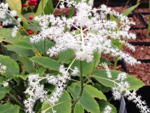 Tanakaea radicans