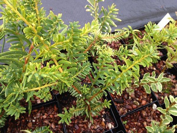 Taxus cuspidata 'Prostrata'