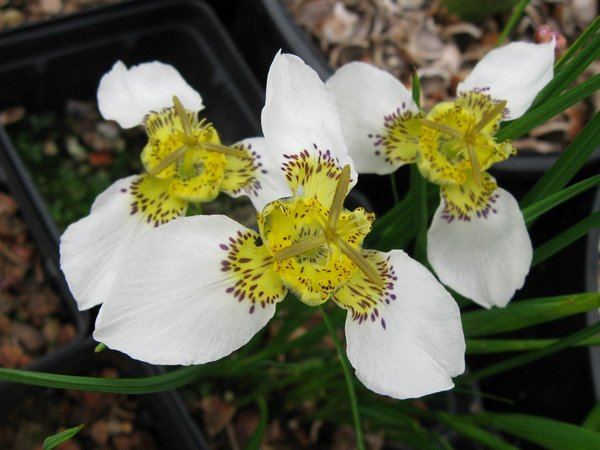 Tigridia chiapensis