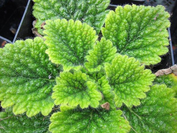 Tremacron aurantiacum