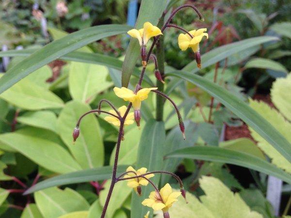 Vancouveria chrysantha hybrid