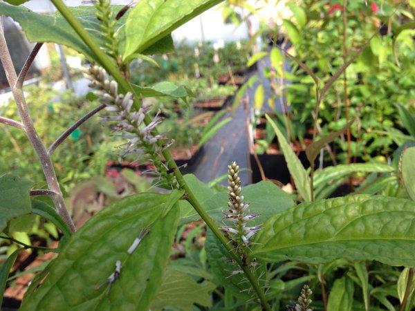 Veronicastrum aff. stenostachyum subsp. stenostachyum DJHC0611