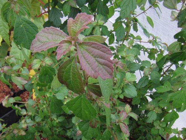 Viburnum aff. luzonicum FMWJ 13093