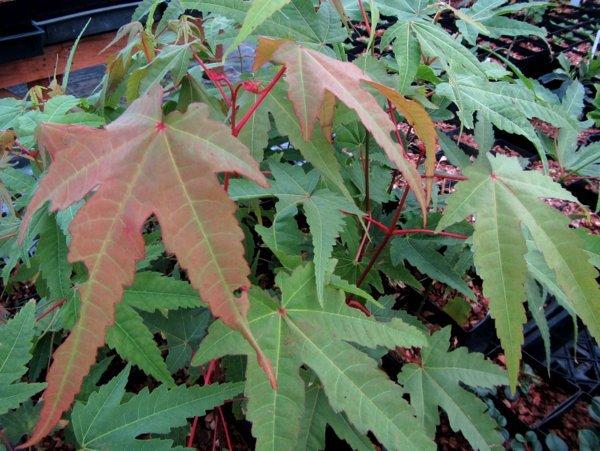 Acer heptaphlebium PZVN13-014