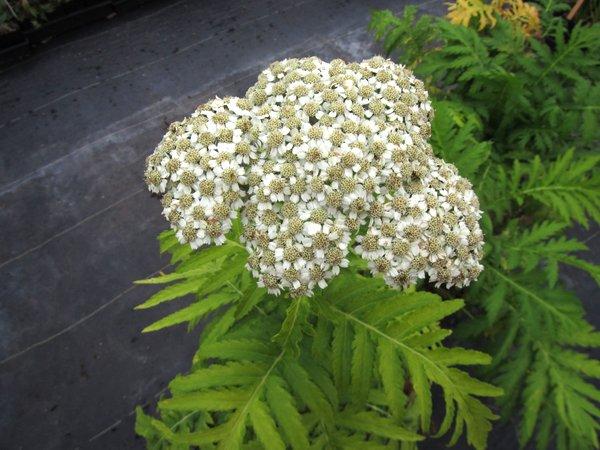 Achillea grandifolia