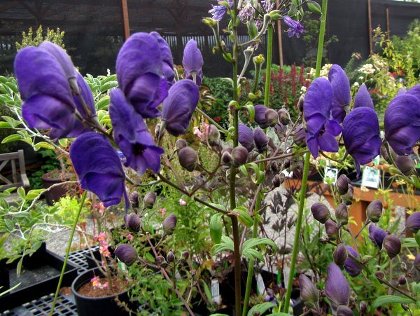 Aconitum carmichaelii 'Barker's Variety'