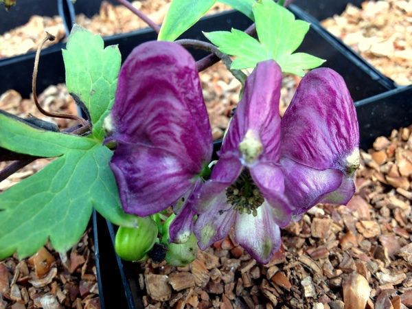 Aconitum hemsleyanum 'Red Wine'