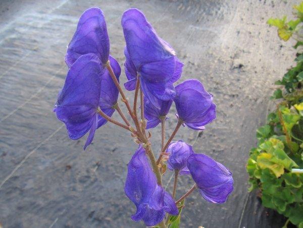 Aconitum sp. PMD