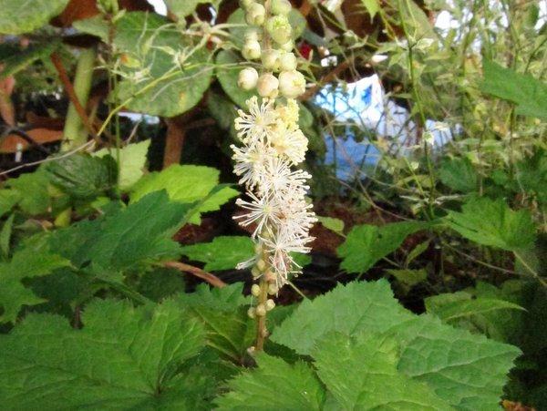 Actaea (Cimicifuga) cordifolia