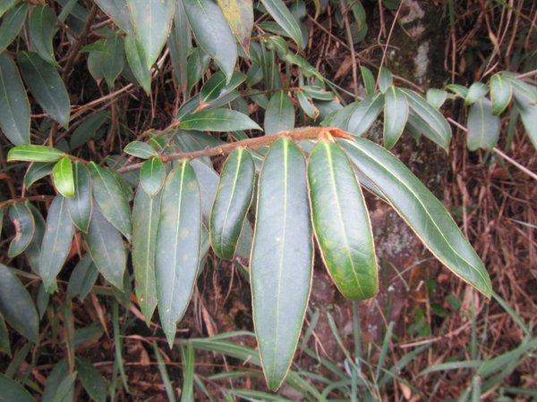 Adinandra glischroloma var. glischroloma CDHM14694