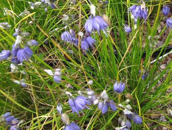 Allium cyaneum 'Sky Blue'