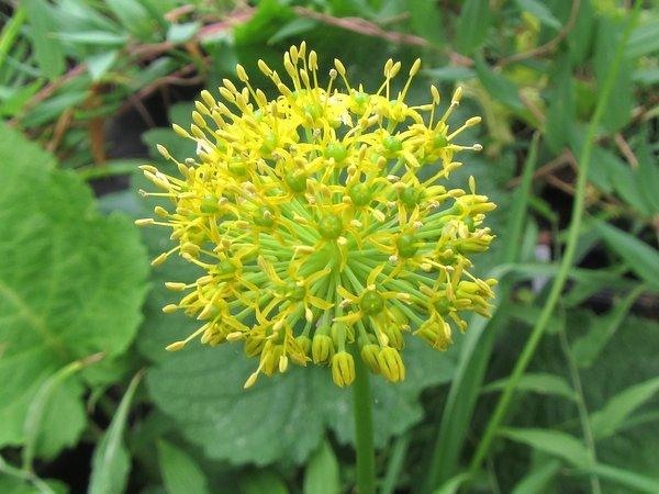 Allium hookeri var. muliense